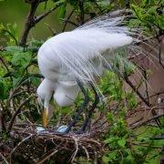 Cypress Wetlands Egret
