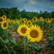 Draper WMA Sunflowers