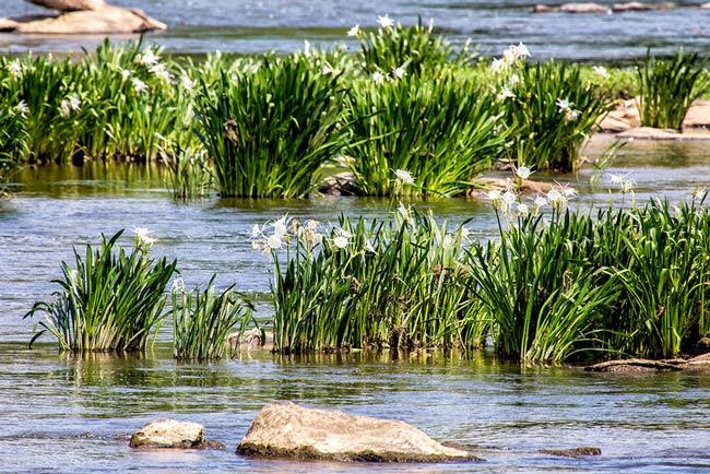 Landsford Canal Spiderlilies