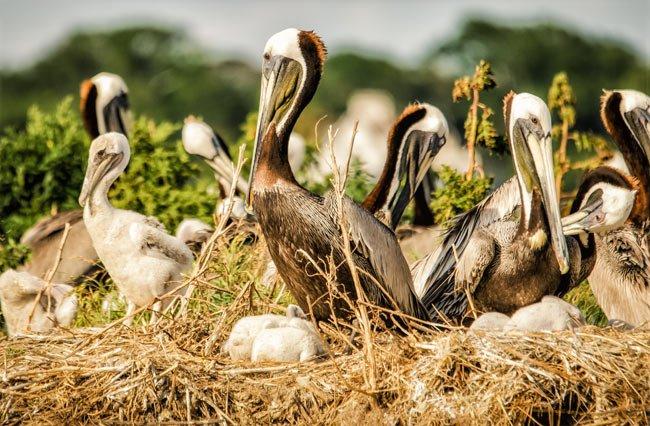 Pelican Chicks Crab Bank