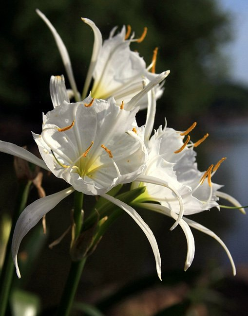 Spider Lily Bloom