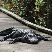Woods Bay Alligator