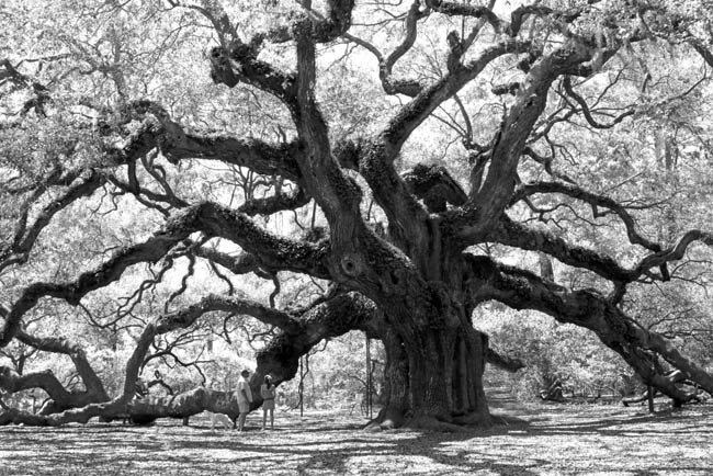 Angel Oak Tree SC