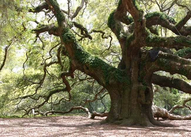 Angel Oak Johns Island South Carolina Sc