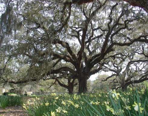 Brookgreen Gardens Live Oaks