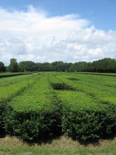 Charleston Tea Plantation - Wadmalaw Island South Carolina SC