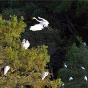 Black River Egrets