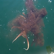 Octopus Fishing