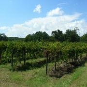 Irvin-House Vineyard Photos