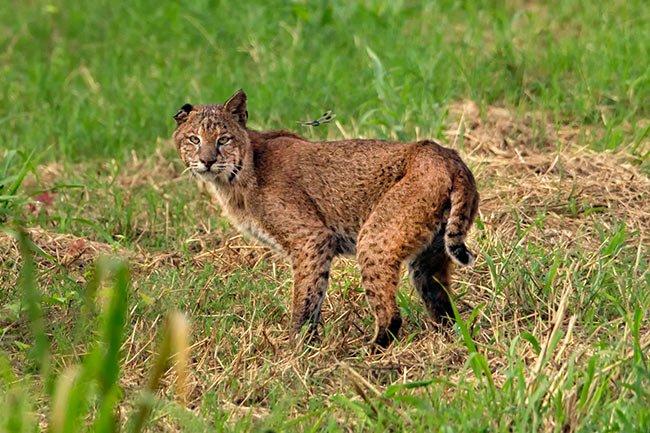Bobcat - Savannah NWR