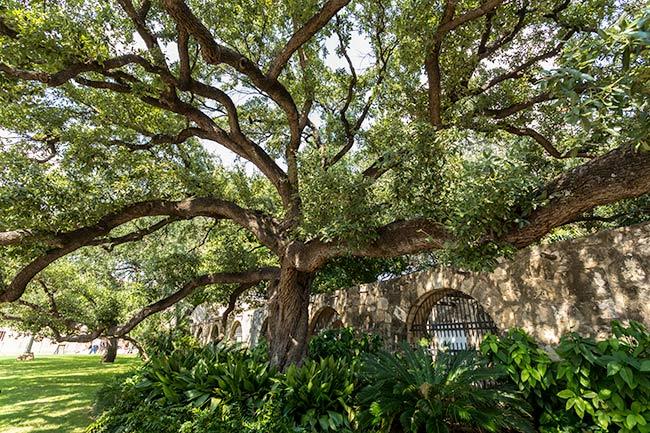 Alamo Tree
