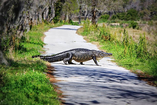 Alligator Crossing Magnolia Plantation