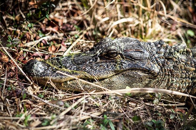 American Alligator at Caw Caw