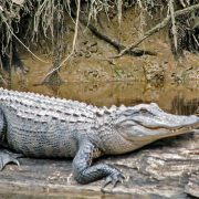 American Alligator | Great Pee Dee River