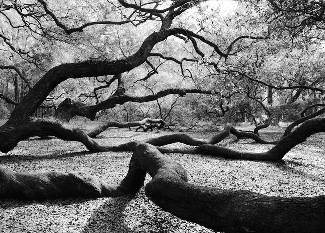 Angel Oak Limbs