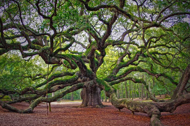 Image result for photo Oak tree