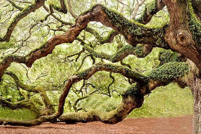 Angel Oak Tree, limb detail