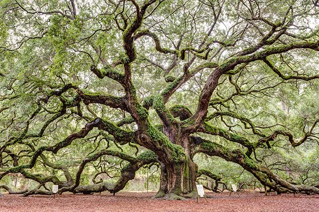 Angel Oak - Johns Island, South Carolina