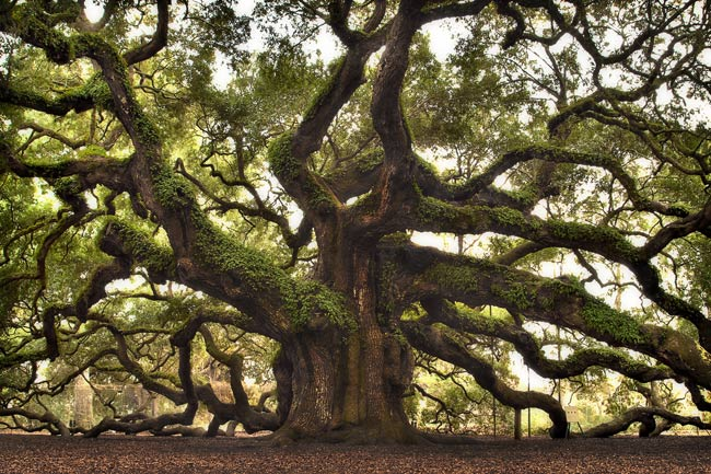 Angel Oak Trunk