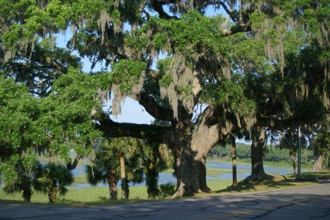 Beaufort Bay Street Oak