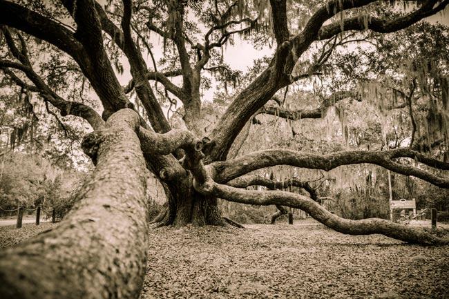 Beaufort Oak