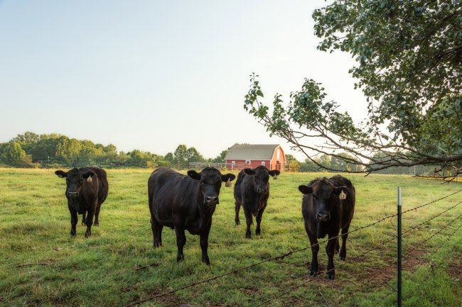 Belue Farms Cattle