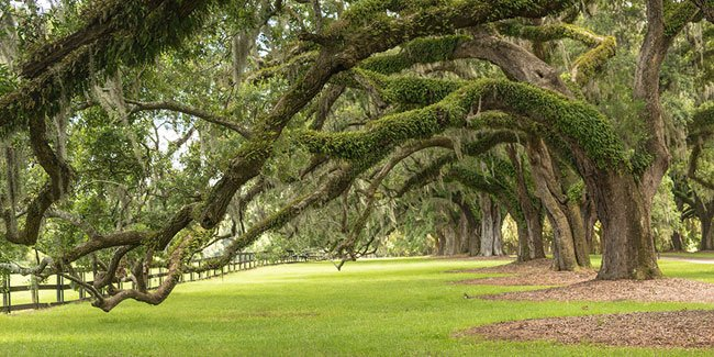 Boone Hall Oaks