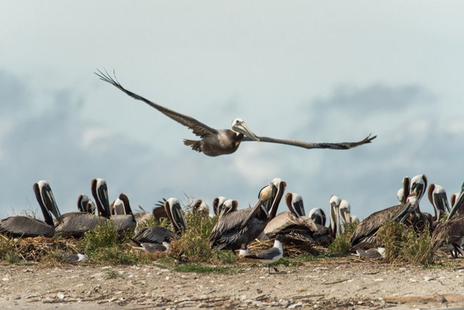 Brown Pelican Crab Bank