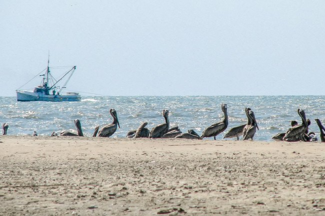 Pelicans on Bull's Island