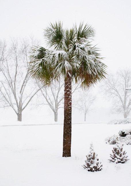 Cabbage Palmetto Tree