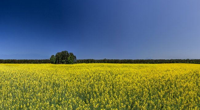 Canola Field Marion County