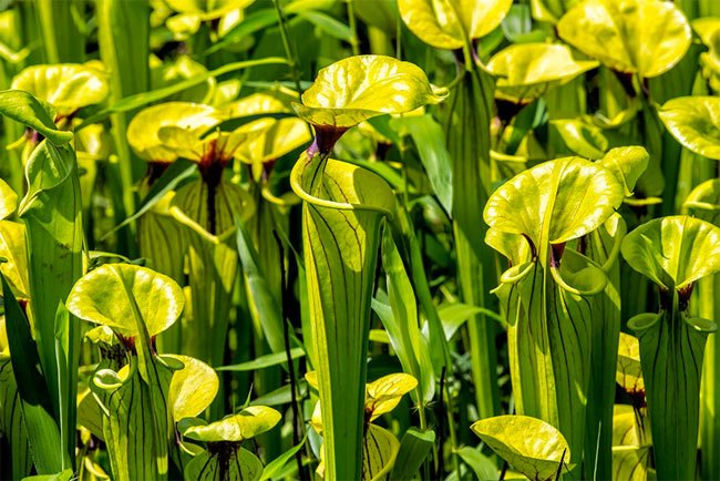 Carolina Sandhills Pitcher Plants