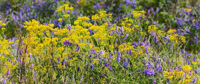 Carolina Sandhills Wildflowers