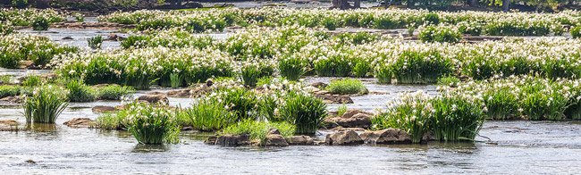 Catawba River Spider Lilies