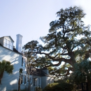 South Carolina Champion Oak
