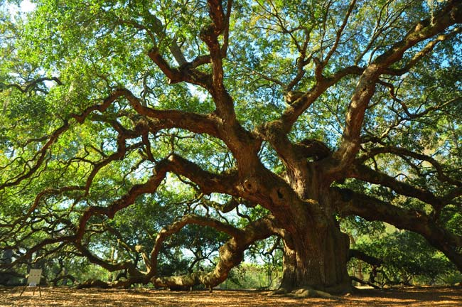 charleston-angel-oak
