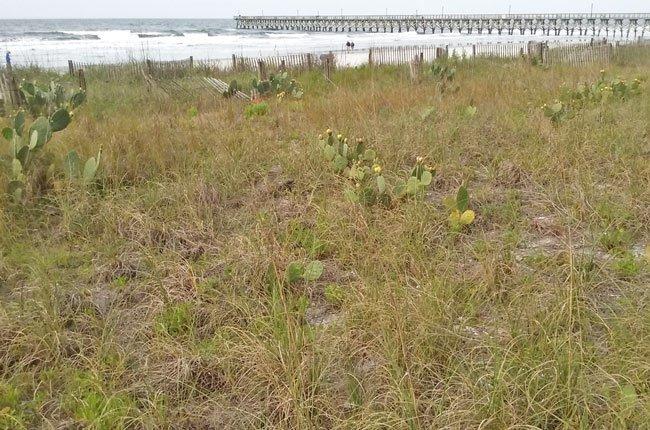 Prickly Beach Plant South Carolina