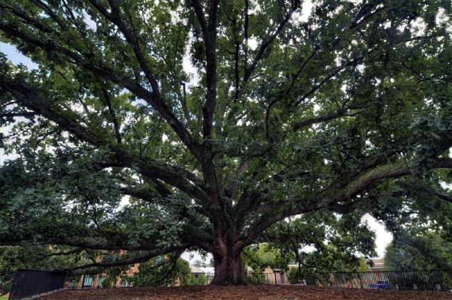 Clemson Centennial Oak