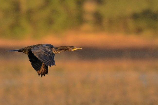 Cormorant at Huntingon Beach