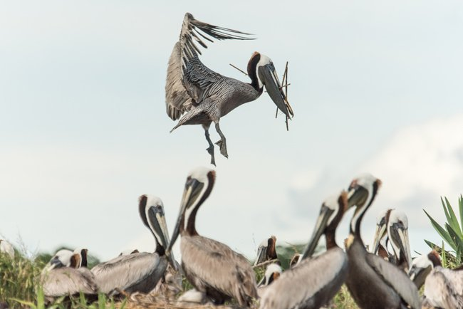 Crab Bank Pelicans