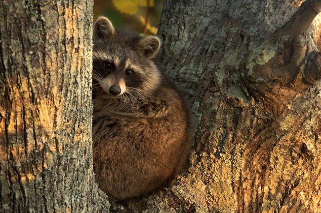 Raccoon at Santee Wildlife Refuge