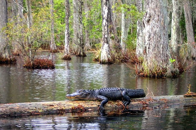 Cypress Gardens Alligator