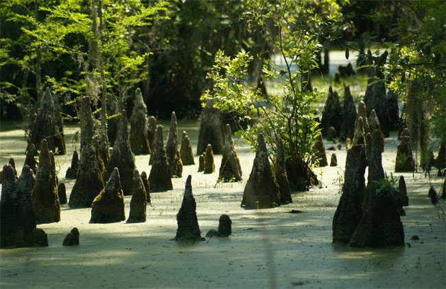 Cypress Gardens Knees