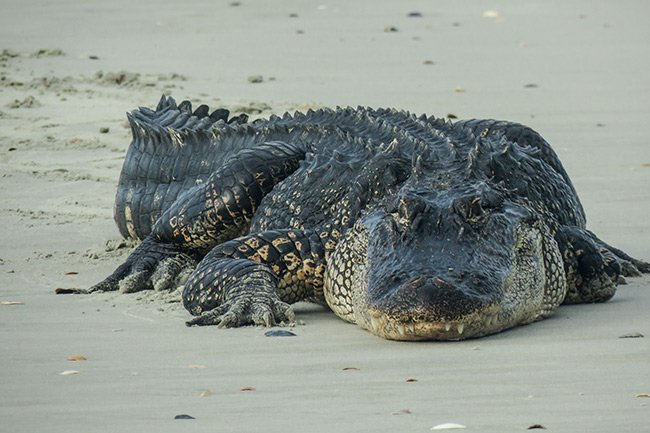 Dewees Island Alligator