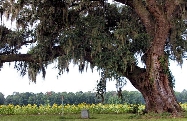 Donnelley Oak