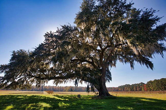 Live Oak with Richardson Marker