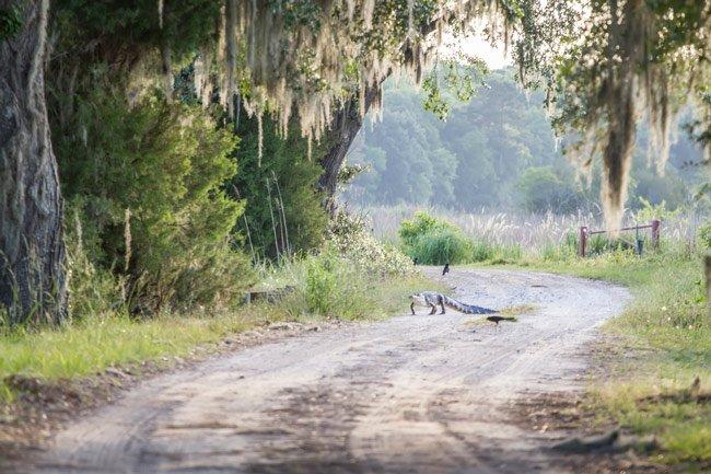 Donnelley WMA Alligator