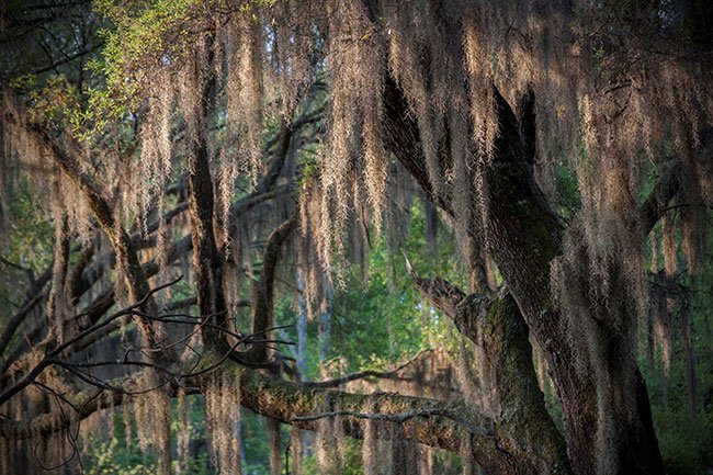 Donnelley WMA Green Pond Spanish Moss