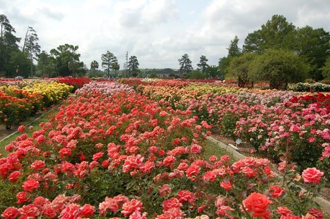 the gardens of the american rose center edisto memorial gardens orangeburg south carolina sc