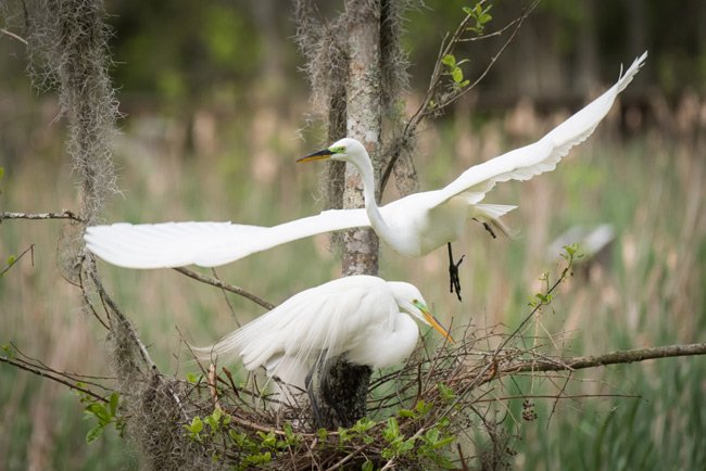 Egret Family at Audubon Swamp